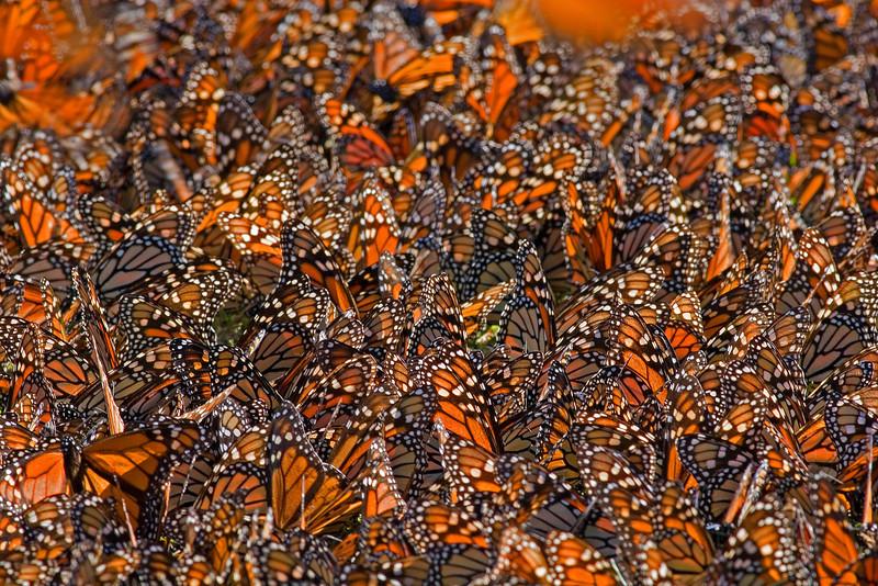 Monarch Carpet