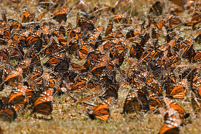 Early Morning Monarchs