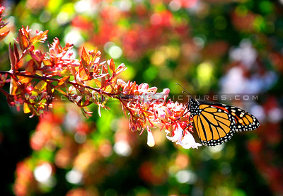 monarch-butterfly-flower