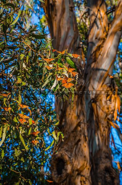 pismo butterflies monarchs-8570