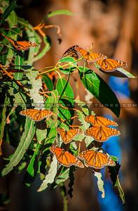 pismo butterflies monarchs-8559-2