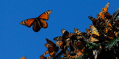 MEXICO-BUTTERFLY/SANCTUARY