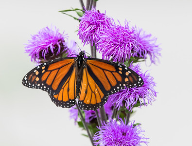 monarch on white