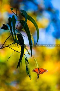 pismo butterflies monarchs-8581