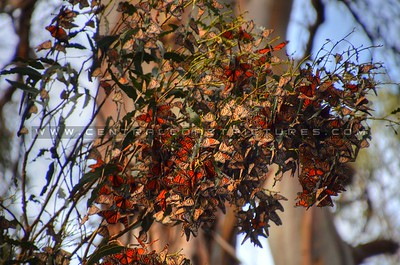 butterflies_6991