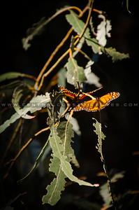 pismo butterflies monarchs-8558