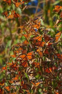 pismo butterflies monarchs-8554
