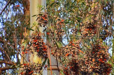 butterflies_6977