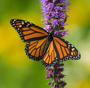 Monarch on yellow