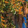 pismo butterflies monarchs-8588