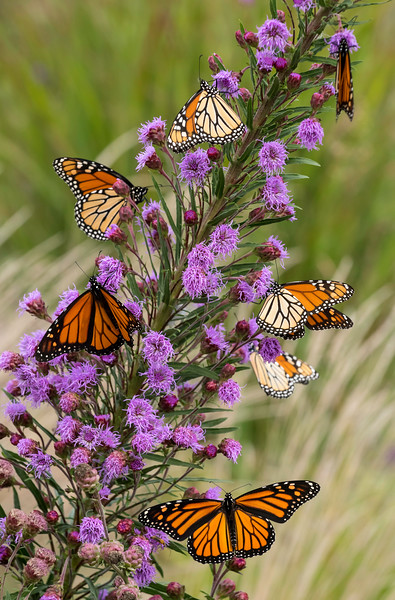 So Many Monarchs