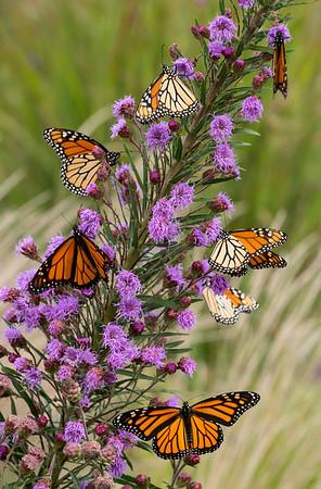 So many monarchs