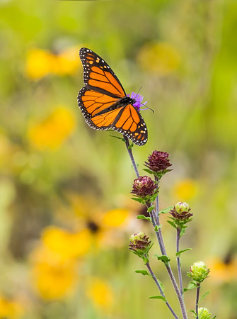 Monarch with black-eyed Susan