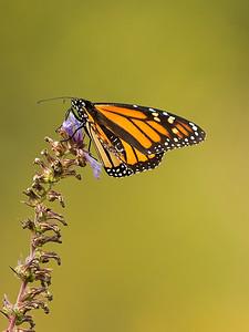 Monarch on lobelia