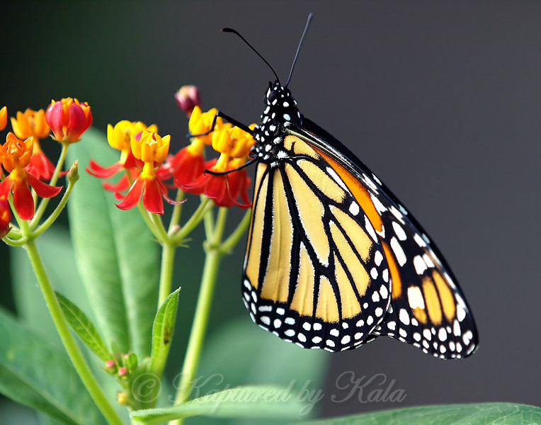 Release Of Monarch #9 View 2