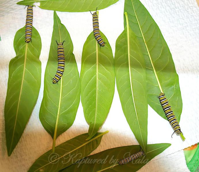 Monarchs #4, 5, 6, 7, &  8