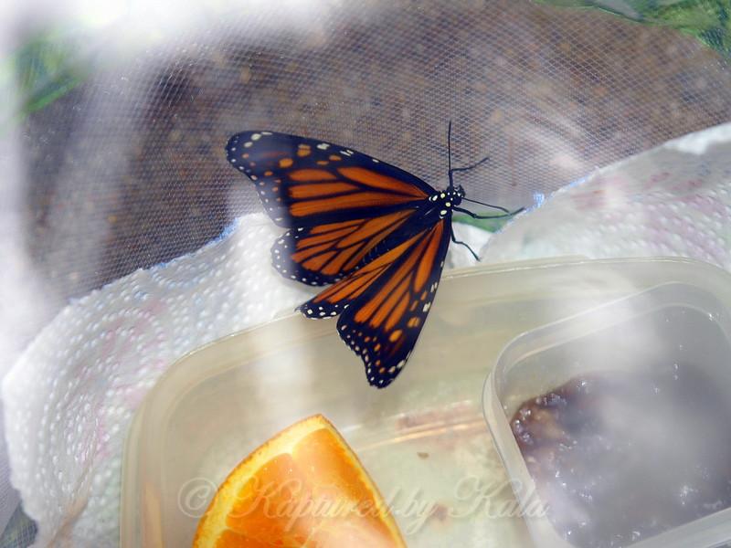 Feeding Monarch #12