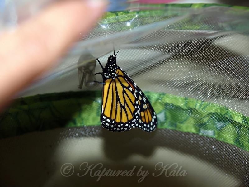 Monarch # 12