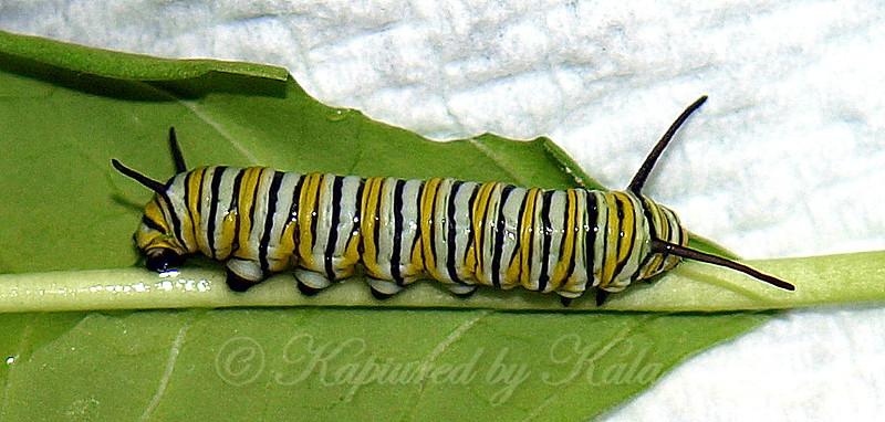 Well Fed Caterpillar
