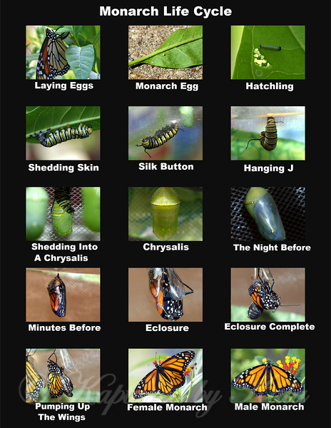 Monarch Life Cycle Collage For Schools