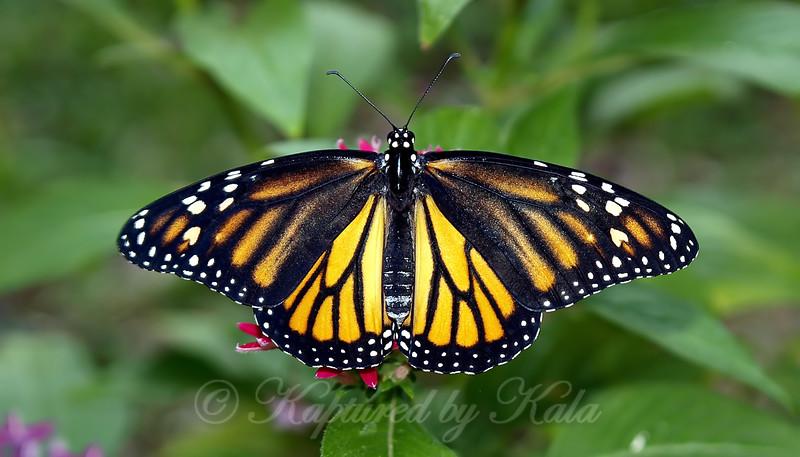 Monarch # 2 Is Unique