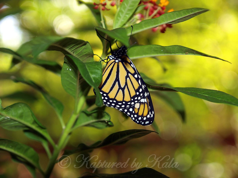 Release of Monarch # 10
