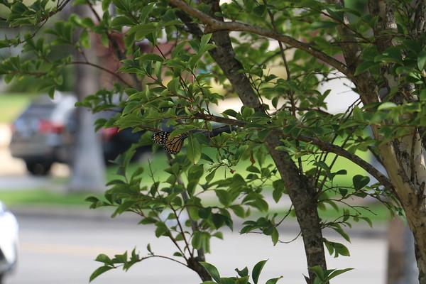 Monarch in my yard