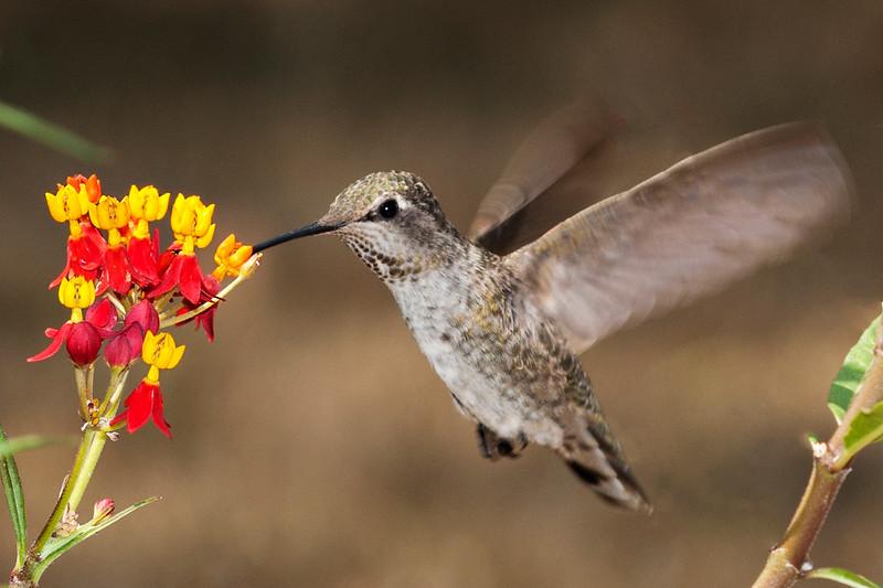 An Anna's Hummingbird feeding at the Milkweed blossoms.