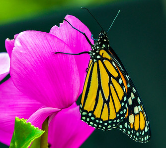 He is now off to enjoy life and hopefully produce more Monarchs for our yard and the Bay Area.