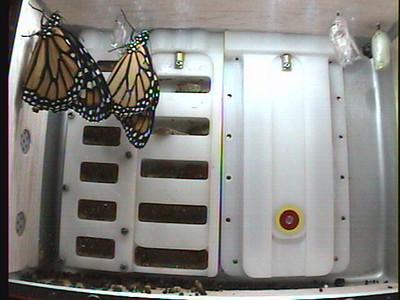 Monarchs on Earth