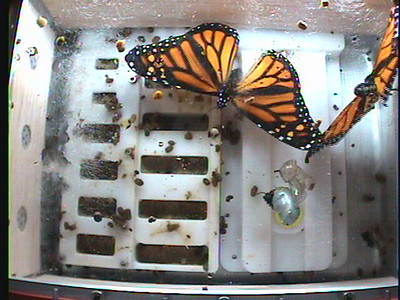 Monarchs on the Space Station