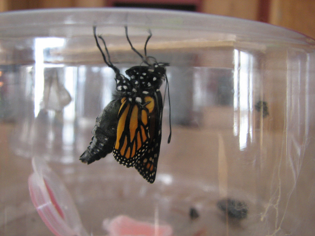 12-13 Newly emerged Monarch in Wisconsin