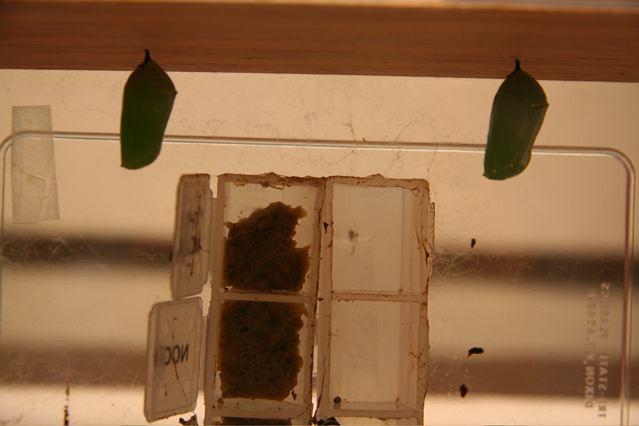 Finally, it has the same shape as Caterpillar #1.  (Roosevelt, NJ, 12/2/09)