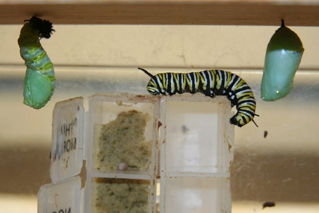 It wiggles around some more.  Notice the elongated shape and the golden stripes on the chrysalis. (Roosevelt, NJ, 12/2/09)