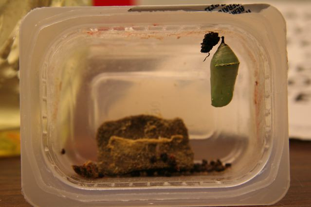 This is one chrysalis in the smaller container.  (Roosevelt Public School, Roosevelt, NJ 12/9/09)