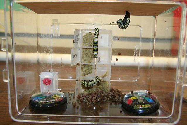 "One caterpillar is hanging in a ""J.""  Roosevelt Public School, Roosevelt, NJ, November 30"