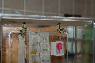 Monarchs in Space Project 221
