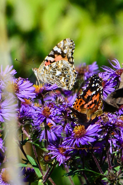 Proud Painted Lady on Purple Aster