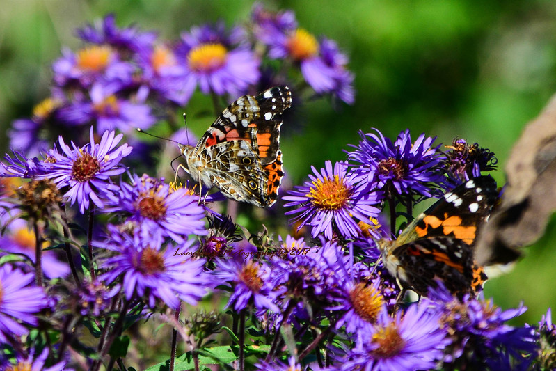 Painted Lady butterfly on Purple Prairie Aster