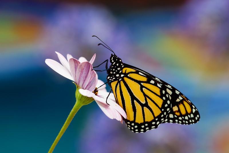 sm monarch.jpg