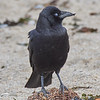 Crow with crossed beak