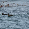 Surf scoter, male and harem