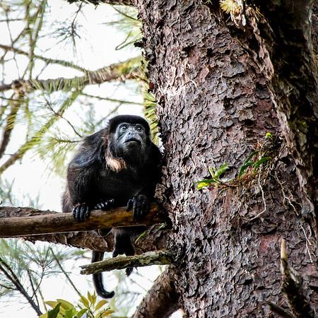 Monkey In Wait