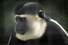 Focused Colobus