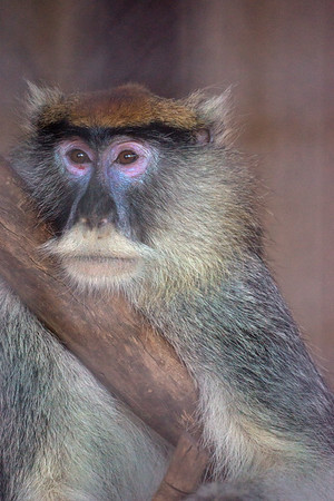 Red Eyed Monkey