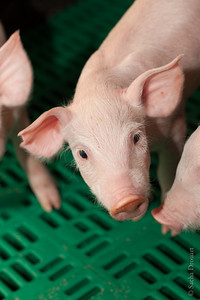 close up piglet