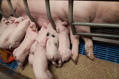 sow to piglets feeding