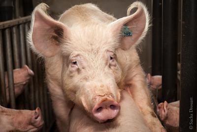 hog closeup