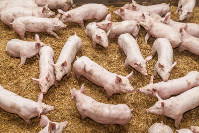 pigs in straw from high level view