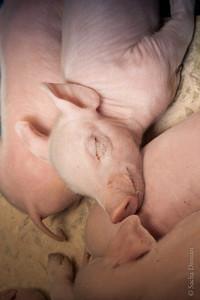piglet sleeping